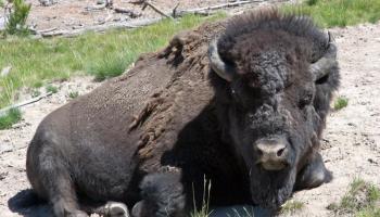 Bison in Yellowstone National Park - Splodz Blogz