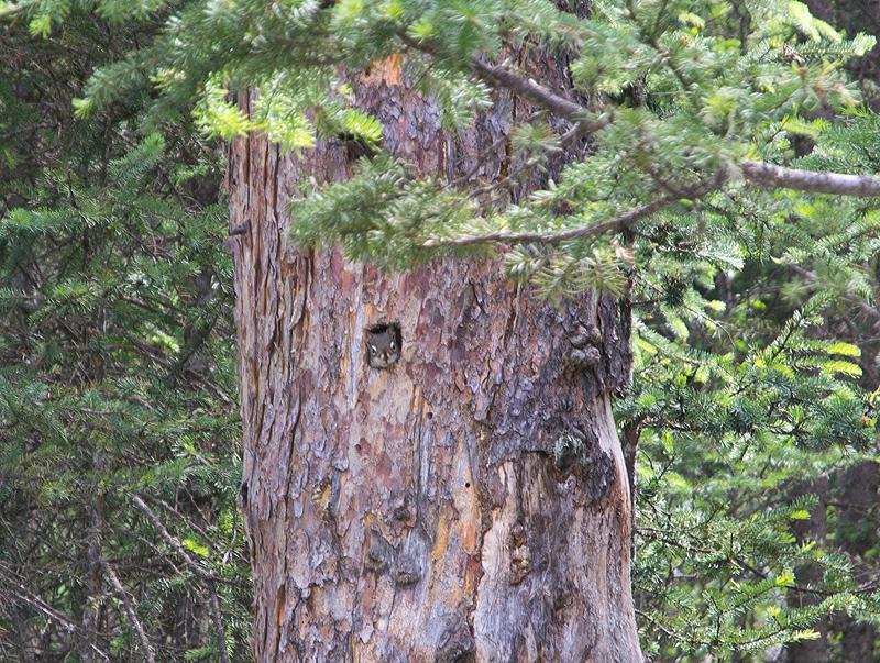 Chipmunk near Mistaya Canyon