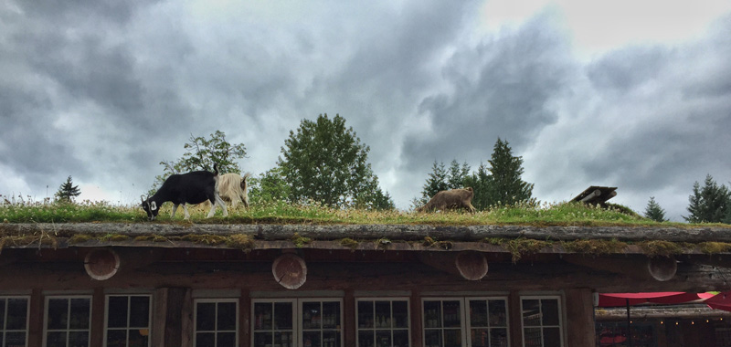 Splodz Blogz Zartusacan, Vancouver Island, Goats on the Roof