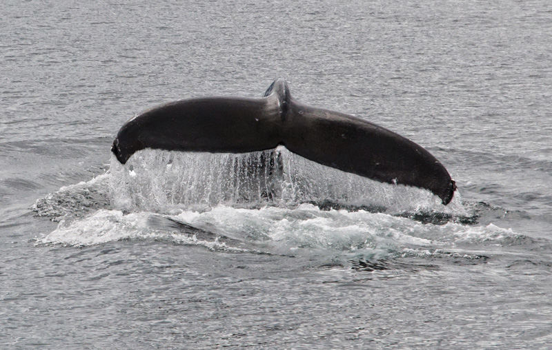WHALE WATCHING FROM VICTORIA WITH EAGLE WING TOURS