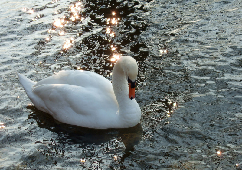 Splodz Blogz | Bird Spotting in the UK | Swan