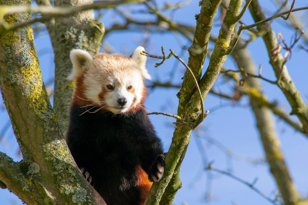 Splodz Blogz | Red Panda at Cotswold Wildlife Park
