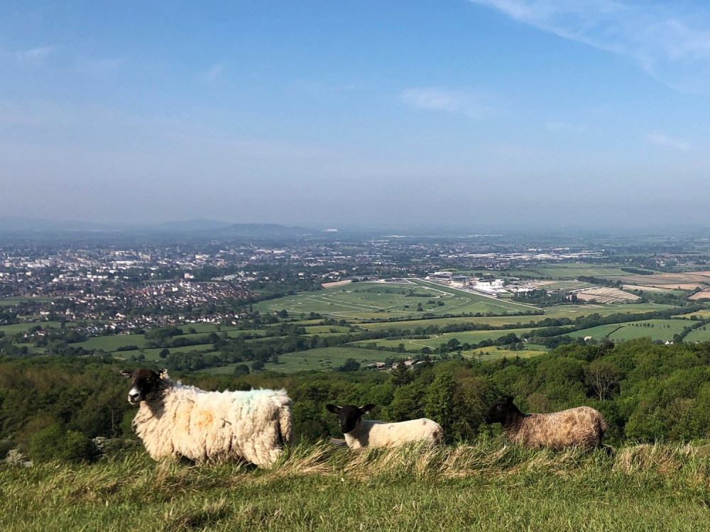Splodz Blogz | Sheep on Cleeve Hill