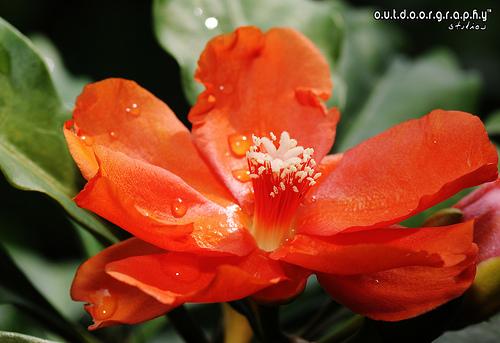 Anak Pokok Bunga Jarum Tujuh Bilah 7 Bintang Bunga Warna Oren Pereskia Sacharosa Untuk