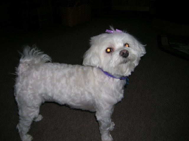 haircuts maltese dogs - best layered haircuts & trends ideas