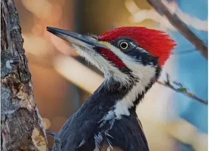 remove woodpecker