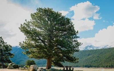11 Fast-Growing Shade Trees