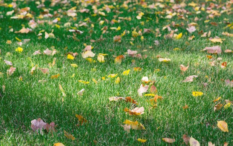Fall Lawn