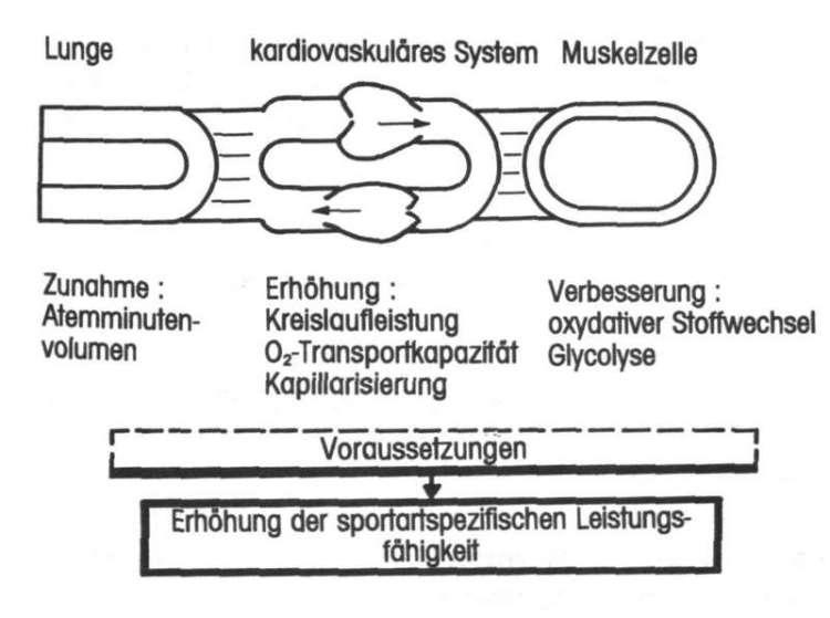 Schematische Darstellung der Wirkung des Höhentrainings