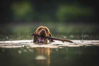brown dog on water with stick on its mouth