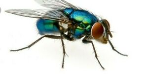blue bottle fly pupae feeder insect