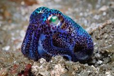 pretty blue octopus