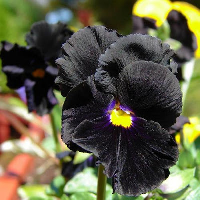 A roundup of seeds for dark gardening.