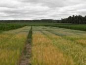 Barley and Oat Variety Trials