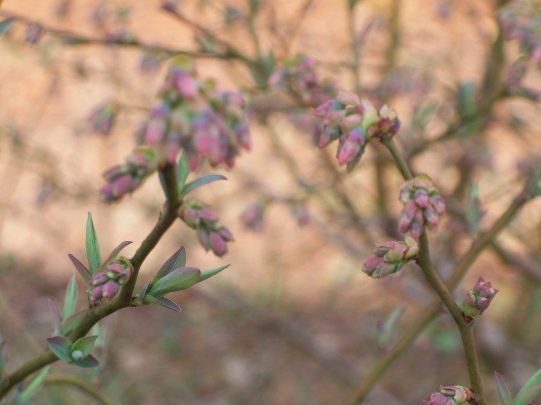 Spring Blueberry Buds