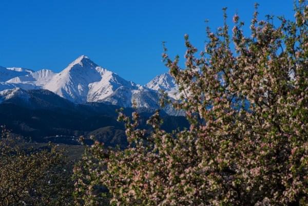 Montagnes avoisinantes d'Almaty et pommiers en fleurs, symbole de la ville (Crédits - Almaty 2022)
