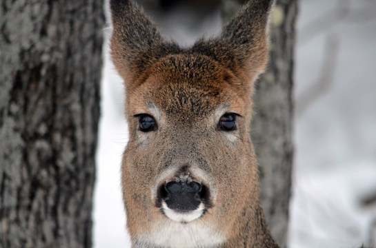 21113 - deer closeup