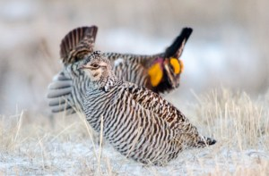 42513 - prairie chicken hen and dancer