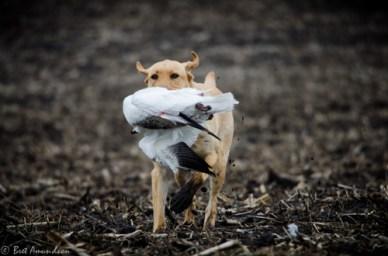 42913 - mika snow goose ret muddy field