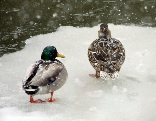 41113 - RR mallards ducks