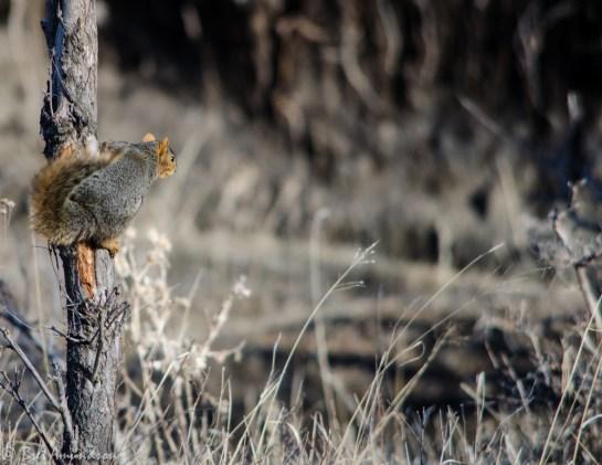 51713 - squirrel