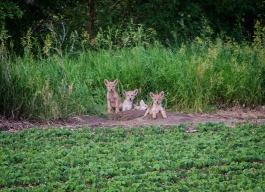 62213 - coyote pups 4