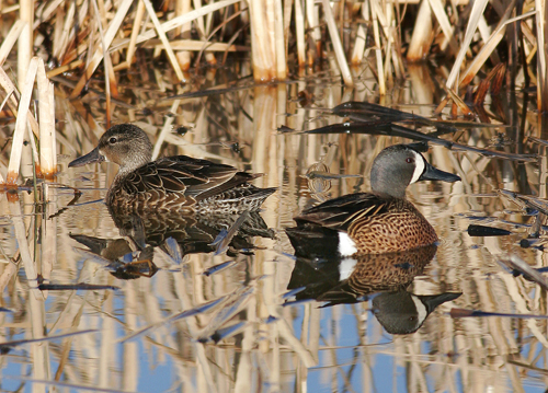 Blue Wing Teal courtesy of ND Game and Fish