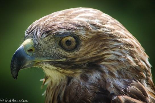81613 - hawk close up_