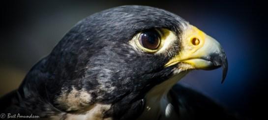 81613 - peregrine falcon face 1
