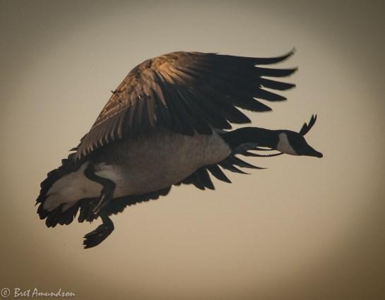 101613 - goose landing