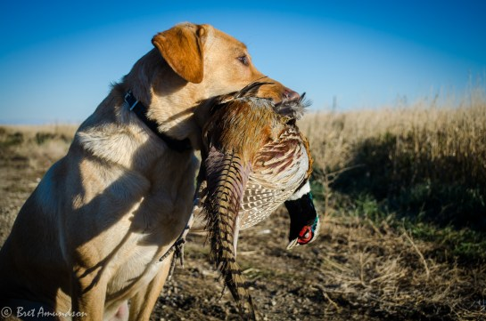 Mika with a South Dakota rooster