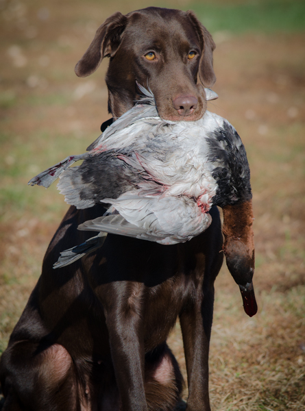 Nahla with the king!  A bull canvasback.