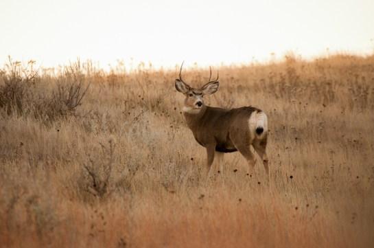 ND Deer (1 of 1)