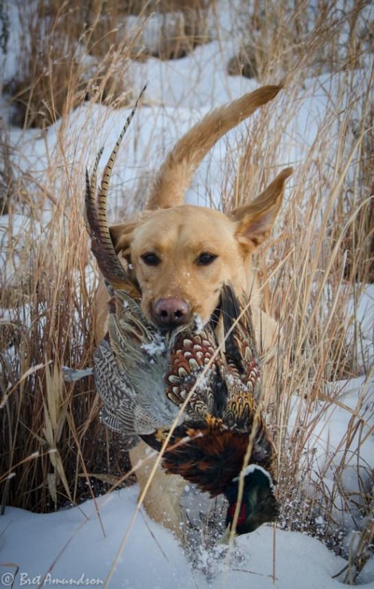 The Minnesota pheasant season ends on 1/1/14.