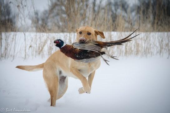 The final retrieve of the pheasant season.