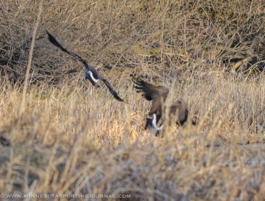 5314 - goose fight closer-4