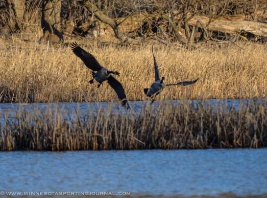 5314 - goose fight closer