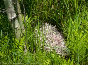 Roadside porcupine