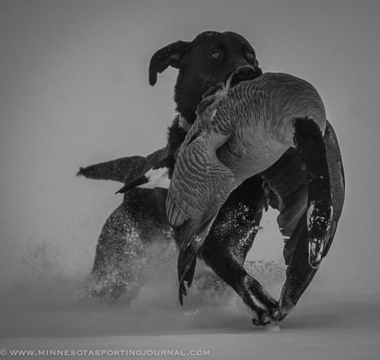 111514-goose hunt dogs-5