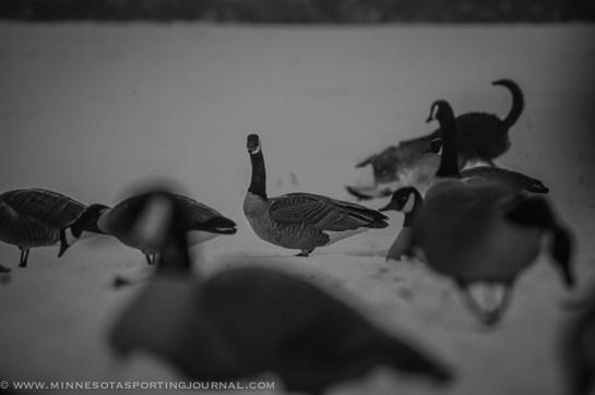 111514-goose hunt dogs-9