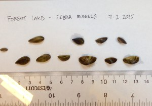 Zebra mussels.  Photo courtesy of the DNR.