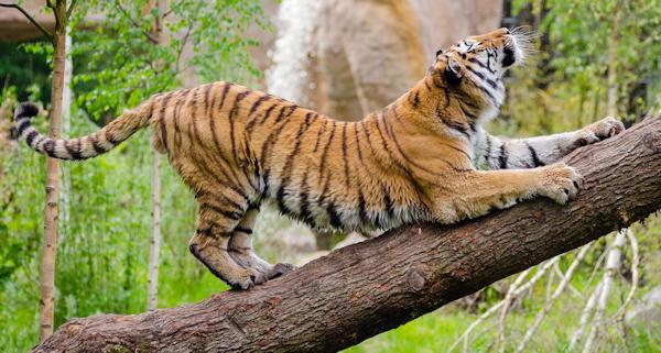 This is the Tiger Pose - Vyaghrasana