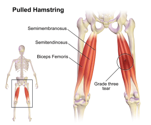 Anatomy of the Hamstrings