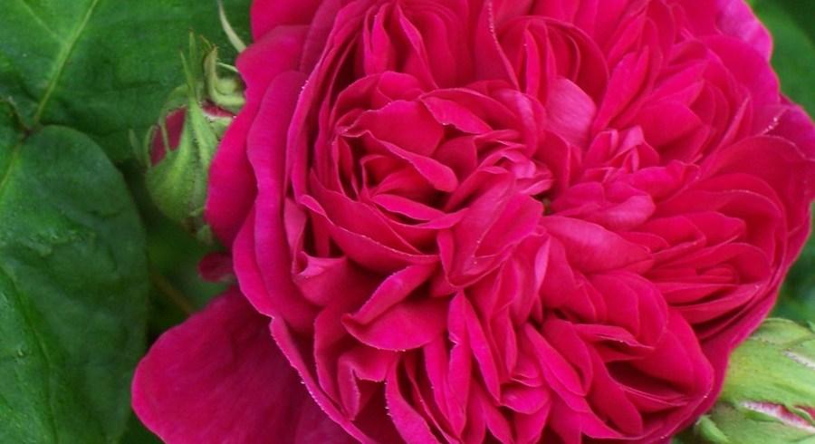 Trandafirii de dulceaţă: un deliciu, de la parfumul din grădină până la dulcele din borcan