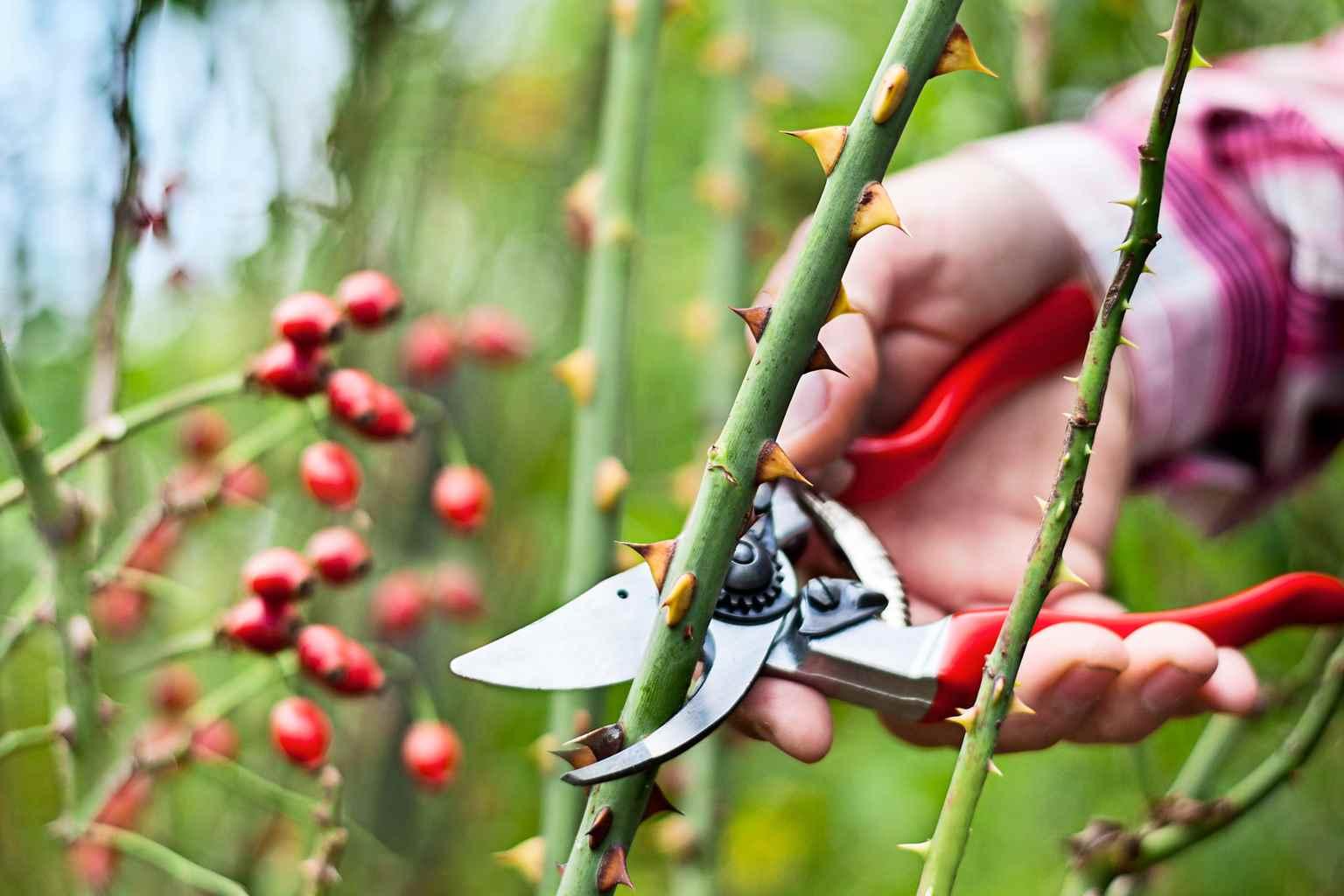 Lucrările de toamnă la trandafiri şi pregătirea lor pentru iarnă