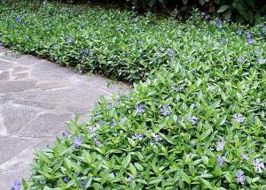 plante pentru zone umbroase, saschiu