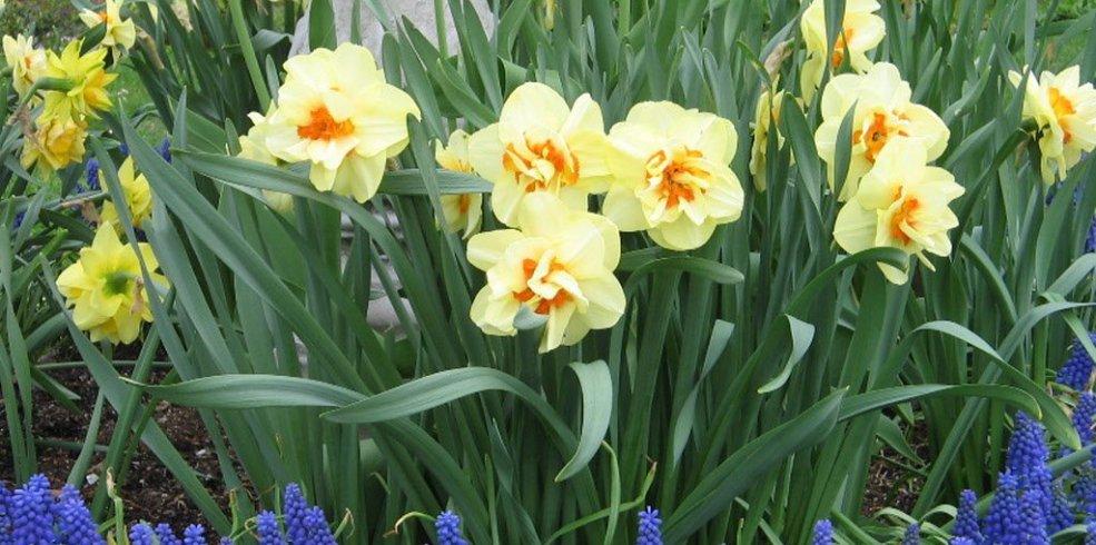 Plantările de toamnă în grădină. Puțină muncă pentru o explozie de culoare și arome în primăvara următoare