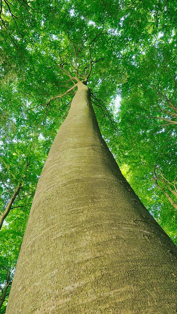 Looking up at Beech Trees, Jasmund National Park, Ruegen ...