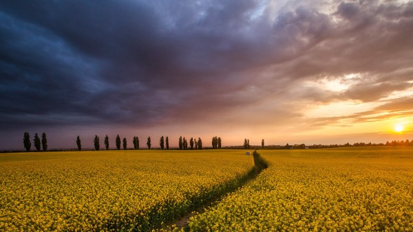 Colza field at sunset, Tuscany, Italy | Windows 10 ...
