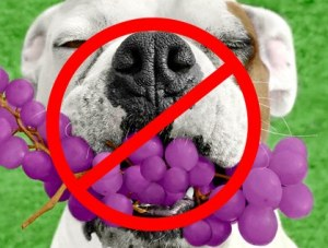 dog eating grapes